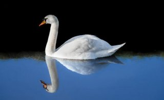 A swan gliding effortlessly along