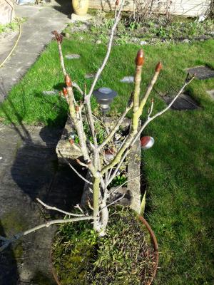 A bonsai horse chestnut tree