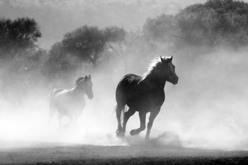 A pair of horses running wild with trees in the background